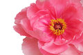 Pink peony flower close up Royalty Free Stock Photo