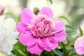 Pink peony flower close up, bokeh blur background, genus Paeonia