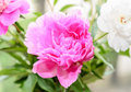 Pink peony flower close up, bokeh blur background, genus Paeonia