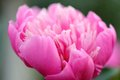 Pink peony flower closeup a of a pretty horizontal orientation Stock Photos