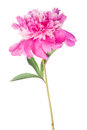 Pink peony flower with green leaves on white Royalty Free Stock Photo