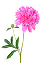 Pink peony flower isolated on white background Stock Images