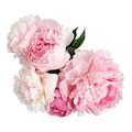 Pink peony flower isolated on white background Royalty Free Stock Photo