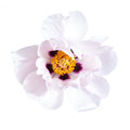 Pink peony flower isolated on white background spa aroma Stock Image