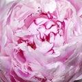 Pink peony flower (macro) Royalty Free Stock Photos