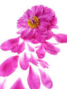 Pink peony flower and petals Stock Photo