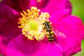 Pink peony flower with pollinating wasp Royalty Free Stock Photo