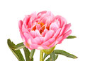 Pink peony flower, stem and leaves on white Royalty Free Stock Photo