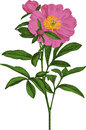Pink peony flower. Vector Royalty Free Stock Photo