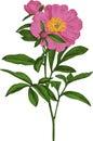 Pink peony flower. Vector