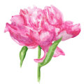 Pink peony flower. Watercolor illustration isolate on white