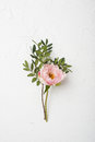 Pink peony flower on white textured background Royalty Free Stock Photo