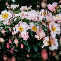 Pink peony flowers blossom, garden detail. Royalty Free Stock Photo