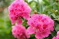 Pink Peony Flowers with Buds in the Garden Royalty Free Stock Photo
