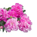 Pink peony flowers  isolated on white background Royalty Free Stock Photo