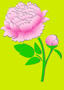 Pink peony on green background Stock Images