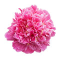 Pink peony isolated on white background Stock Image