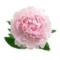 Pink peony isolated on white background Royalty Free Stock Photo