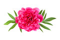 Pink peony with leaves Stock Image