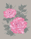 Pink peony rose flower on grey background illustration for decoration and design Stock Image