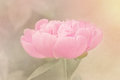 Pink peony selective focus on a blossom processed with a light textured effect Royalty Free Stock Photography