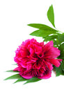 Pink peony on a white background Royalty Free Stock Photos