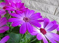 Pink perciallis daisy flower this like is a with lighter colored centers in the delicate flowers it is against a white brick wall Stock Image