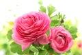 Pink persian buttercup flower closeup Stock Image