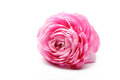 Pink persian buttercup flower isolated on white background Royalty Free Stock Photography