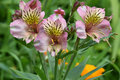 Pink Peruvian Lily Trio Royalty Free Stock Photo