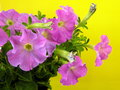 Pink petunia Stock Photos
