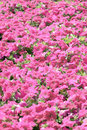 Pink petunia blossom in garden Royalty Free Stock Photo