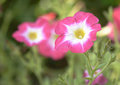 Pink Petunia Flower On The Nat...
