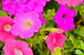 Pink petunia flower plants blooming Royalty Free Stock Photography