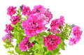Pink petunia flowers isolated on a white background Royalty Free Stock Image