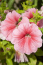 Pink petunias beautiful in bloom Stock Photo