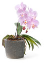 Pink phalaenopsis orchid  on white Royalty Free Stock Photography
