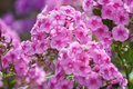 Pink phlox close up of flowers in summer Stock Photography