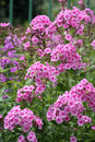 Pink phlox close up of flowers in summer Royalty Free Stock Images