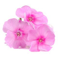Pink Phlox Flowers Isolated On...