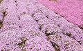 Pink phlox subulate flower texture of ground cover Royalty Free Stock Photo