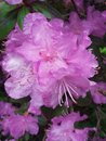 Pink PJM Rhododendron Flowers close up