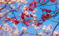 Pink plum blossoms in front of white plum blossom before a bright blue sky Royalty Free Stock Photo