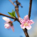 Pink plum blossoms under sky Royalty Free Stock Image