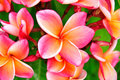 Pink Plumeria Royalty Free Stock Photos