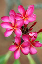 Pink Plumeria Flowers Stock Photography