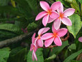 Pink Plumeria Flowers in the Rain Royalty Free Stock Photo
