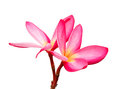 Pink plumeria flowers on white background isolated Stock Images