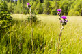 Pink plumes of flowers cirsium palustre l scop marsh thistle european swamp thistle in natural habitat is mire Royalty Free Stock Photo