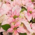 Pink poinsettia Stock Photo